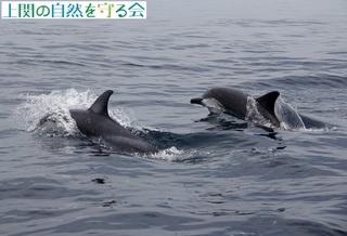 イルカの大群210606-2.jpg