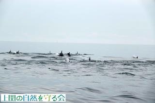 イルカの群れを追う1210911.jpg