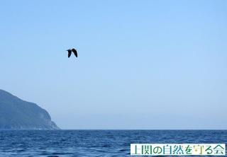 ウミネコ幼鳥211003.jpg