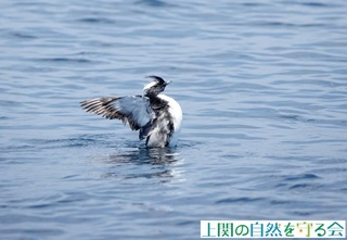 カンムリの羽搏き210523.jpg