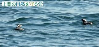 カンムリウミスズメ210114_3.jpg