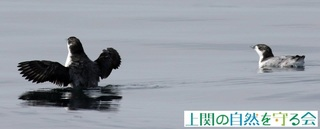 カンムリウミスズメ羽搏き=換羽が完了210703.jpg