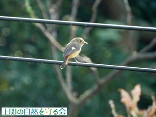 ジョウビタキ♀201013.jpg