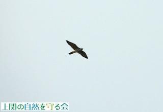 ハヤブサ(上関大橋上空)201026.jpg