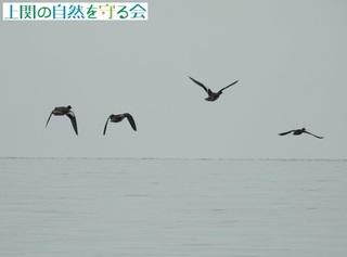 ヒドリガモ200930.jpg