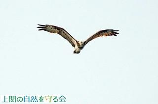 ミサゴの飛翔形211009.jpg