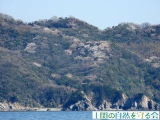 八島のヤマザクラ210325.jpg