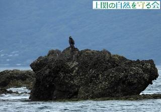 岩礁で休むカワウ210808.jpg