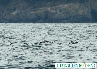 飛び去るウミスズメの群れ210213.jpg