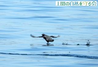 飛び去るカンムリ210206.jpg