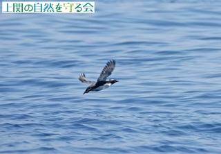 飛び去るカンムリウミスズメ210325.jpg