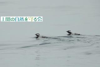 bやっと見つけたカンムリウミスズメのペア200313.jpg