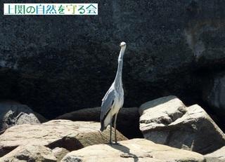 bアオサギ幼鳥?200730.jpg