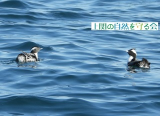 bカンムリウミスズメのペア200111.jpg