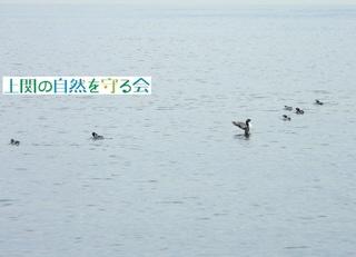 bカンムリウミスズメ羽搏き.jpg