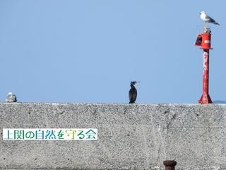 bセグロカモメ・カワウ・ウミネコ191228.jpg