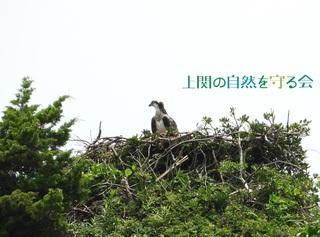 bミサゴ幼鳥200620.jpg