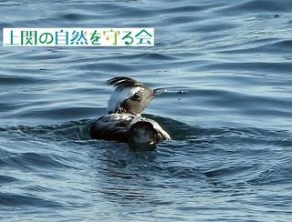 b冠羽や尾羽を立てて警戒しているカンムリウミスズメ200111.jpg