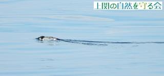 b水中を窺うカンムリ200730.jpg