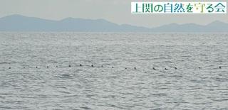 b海上に浮かぶウミスズメの群れ200131.jpg