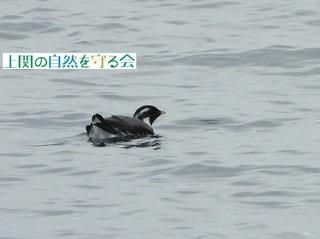 b紛らわしい=カンムリと間違えるウミスズメの夏羽個体200313.jpg