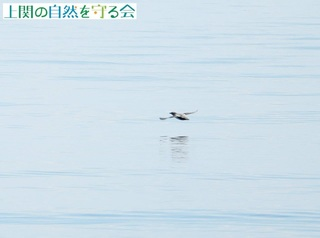 b飛び去るカンムリウミスズメ200730.jpg