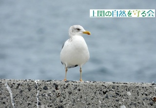 b黄色い足をしたセグロカモメを見つける200313.jpg